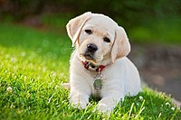 portrait of a 10 week old yellow labrador retriever puppy sitting on grass looking up. mr 4862.