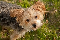 Yorkshire terrier, MR 120513.