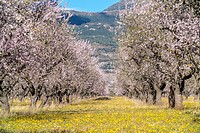 Almond tree fields. Loarre, Huesca, Aragon, Spain.