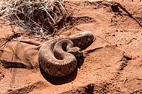 Side-winding Adder. Namib Desert, Namibia.