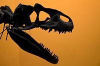 Allosaurus head skeleton