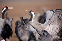 Cranes (Grus grus) in the wildlife reserve Gallocanta. Zaragoza. Spain.