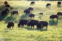 Bison herd in Wind Cave National Park in South Dakota.