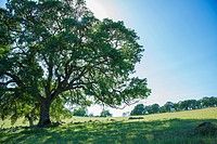 Majestic oaks highlight a California landscape.