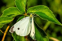 Cabbage White Butterfly (Pieris rapae) on Virginia Creeper (Parthenocissus quinquefolia) Leaf.
