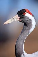Crane (Grus grus) in the wildlife reserve Gallocanta. Zaragoza. Spain.