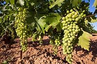 Vineyard, Mollina, Malaga province, Andalusia, Spain