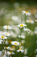 Close-up of a flower meadow with ox-eye daisy (Leucanthemum vulgare) blossoms in early summer.