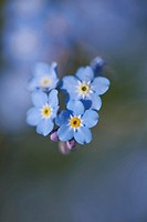 Close-up of wood forget-me-not (Myosotis sylvatica) blossoms in early summer.