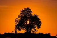Silhouette of a tree at sunrise, near Kwara Camp, Okavango Delta, Botswana.