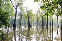 Tupelo trees at Apple Club Lake near Helena Arkansas.