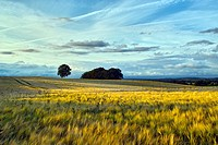 A ripening field of Barley at early evening, Coolnahay, County Westmeath, Ireland