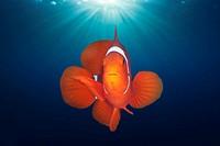 Spinecheek Clownfish, Premnas aculeatus, Florida Islands, Solomon Islands.