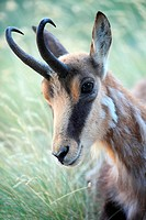 Chamois (Rupicapra rupicapra) in the Gran Paradiso National Park. Italy.