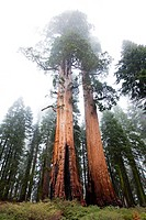 Giant Sequoias in Mariposa Grove, Yosemite National Park, California, USA.