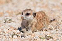 Meerkat (Suricata suricatta), young male, lying down on gravel, Kgalagadi Transfrontier Park, Northern Cape, South Africa, Africa.