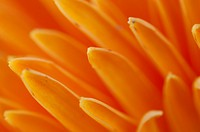 Strawflower (Xerochrysum bracteatum) Macro Floral.