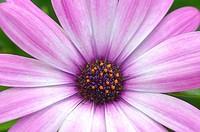 Pink and purple Gerber Daisy (Gerbera jamesonii).