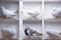 Pigeons in the coop, Bushmills, N.Ireland, United Kingdom