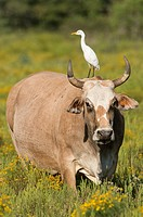 Cattle Egret (Bubulcus ibis) on a cow´s back , Texas.