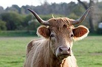 Cattle (Bos taurus) France