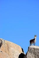Goat (Capra hispanica) in La Pedriza near Manzanares el Real, Madrid, Spain.