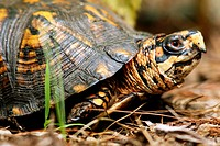 Eastern Box Turtle - Brevard, North Carolina USA.
