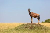 Topi (Damaliscus lunatus jimela) guard standing on termite mound, Masai Mara, Kenya.