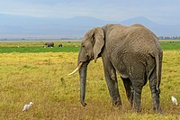 African bush elephant (Loxodonta africana) with cattle egret (Bubulcus ibis). Amboseli National Park. Kenya.