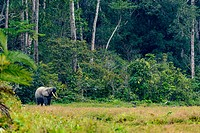 African forest elephant (Loxodonta cyclotis). Odzala-Kokoua National Park. Cuvette-Ouest Region. Republic of the Congo.