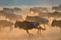 Wildebeest (Connochaetus taurinus), gnu, running at sunrise during the great migration, Serengeti national park, Tanzania.