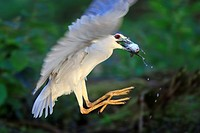 Europe, France, Ain, Dombes, Black Crowned Night Heron Nycticorax nycticorax, adult fishing.
