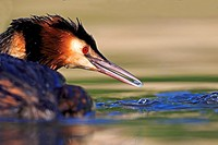 Europe, France, Ain, Dombes, Great Crested Grebe Podiceps cristatus, adult.