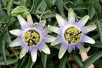 Passion flower in a garden near Bolzano in South Tyrol in Italy - Passiflora caerulea.