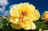 Bartzella peony, Adelman Peony Garden, Brooks, Oregon.