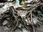 Root system at Cave Point County Park on Lake Michigan Door County Wisconsin.