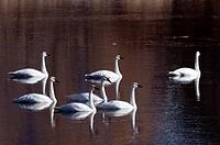 Trumpeter Swan - Olor buccinator - Montana - USA