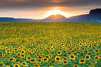 Sunflowers plantation. Arteaga village, Tierra Estella county. Navarre, Spain, Europe.