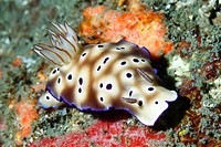 Hypselodoris tryoni nudibranch, formerly known as Risbecia tryoni, Lembeh Strait, Indonesia.