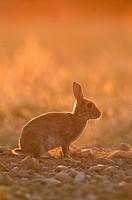 European rabbit - on sunset - Oryctolagus cuniculus - France