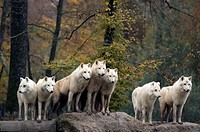 Arctic or Canadian Wolf Canis lupus - Pack