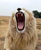 white male Lion
