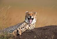 Kenya, Maasai Mara, Yawning cheetah (acinonyx jubatus)