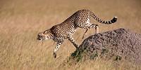 Kenya, Maasai Mara, Cheetah (acinonyx jubatus) walking