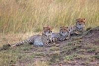 Three young cheetah. Maasai Mara National Reserve, Kenya