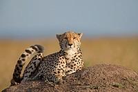 Cheetah. Maasai Mara National Reserve, Kenya