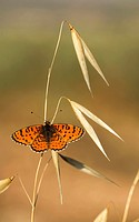 Lesser Spotted Fritillary (Melitaea trivia) Butterfly Photographed in Israel, Spring May.