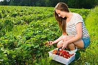 Girl inspect strawberries on field and she pick ripe ones to the basket.