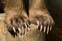 Brown Bear (Ursus arctos), claws