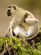 Cercopithecus aethiops. Vervet monkey. Primate. Ngorongoro conservation area. Tanzania. Africa.